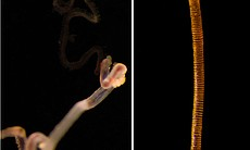 Siboglinids (left), which lack a mouth and digestive system, live inside tubes (right) in methane or sulfide-rich environments.