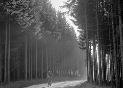 A soldier walks down a road lined by tall trees, Belgium, December 1944.