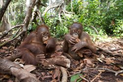 Two young Forest School orangutans enjoy some fruit on the forest floor.
