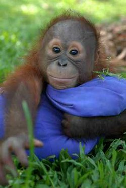 A young orangutan cuddles a blanket in the grass.