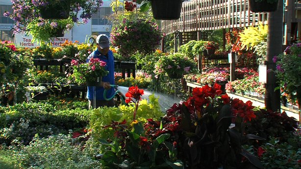 A worker at Walter Andersen Nursery waters flowers, a major part of San Diego Agriculture.