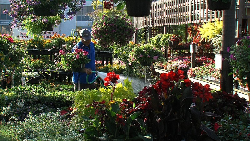 A worker at Walter Andersen Nursery waters flowers, a major part of San Diego...