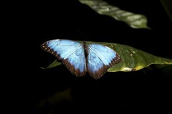 The morpho butterfly has a bright blue color, due to a structural pattern on ...