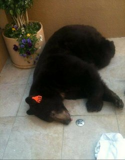 Meatball the bear was tranquilized by the California Department of Fish & Gam...