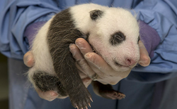 The newborn giant panda, who was born July 29, 2012.