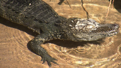 A Chinese Alligator relaxing in a pound at the San Diego Zoo.