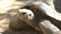 Galapagos Tortoise at the San Diego Zoo. Some at the park are more than 100 y...