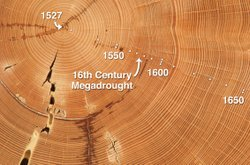 This Douglas-fir sample from the Southwest has annual tree rings dating back ...