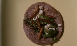 A delicious snack of meal worm tacos.
