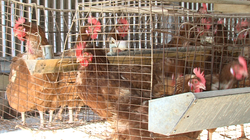 Chickens at this Lakeside egg ranch are supposed to get more room to move under Proposition 2.
