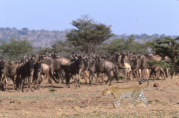 African leopard stalking a herd of agitated wildebeest.