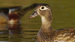 Wood Duck female from Ohio.