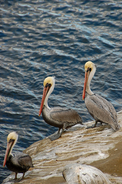 Pelicans at La Jolla Cove.