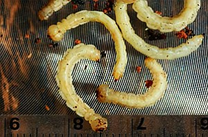 Mature larvae leggless and about 18 mm long and have a bu...