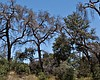 Dead trees in the Cleveland National Forest in ...
