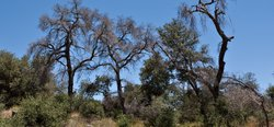 These dead trees in the Cleveland National Forest in San Diego County are a c...