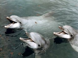Dolphins in U.S. Navy program
