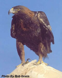 The Golden Eagle is one of many birds protected under the Migratory Bird Trea...