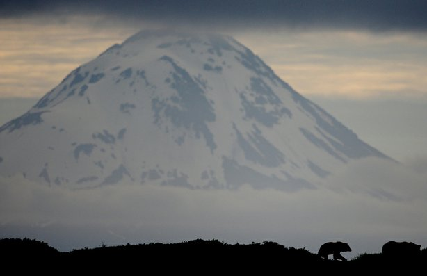 Grizzly bear in front of Augustine volcano, Alaska.