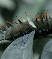 A birdwing caterpillar munching on the ash covered vegetation, Tavurvur volcano, Papua New Guinea.