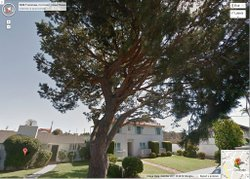 An Itailian stone pine tree sits in the front yard of a residential neighborh...