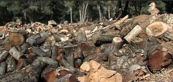 Logs and branches from dead oak trees are piled up near W...