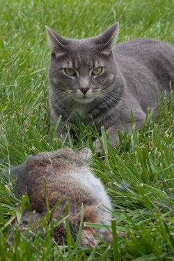 Qbert the cat with the rabbit it killed.  Via Flickr user mlaargh