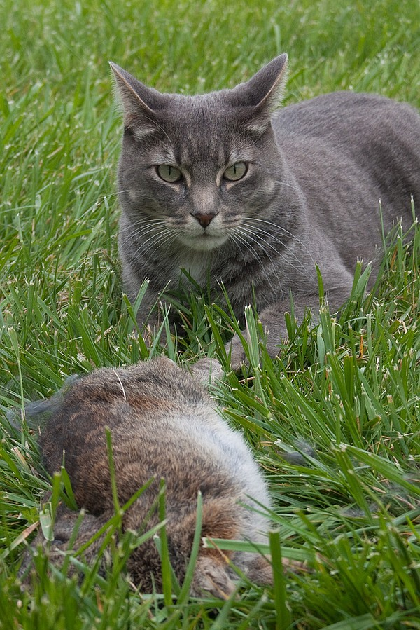 Qbert the cat with the rabbit it killed.  Via Flickr user...