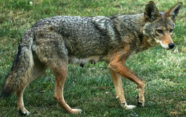 Despite pleas from animal welfare advocates, the California game commission has declined to intervene in a controversial coyote hunting contest this weekend in wolf country.