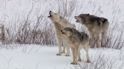Three wolves howling.