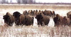 Buffalo herd in snow.