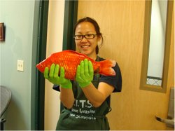 Gigantic goldfish, like this one held by University of Nevada, Reno, research...