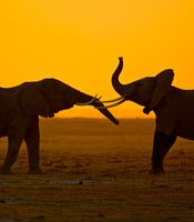 Two young elephants greet each other at dusk in Amboseli National Park, Kenya.