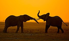 Two young elephants greet each other at dusk in...