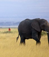 A lone elephant wanders on as the Maasai patrol Amboseli National Park, Kenya.
