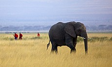 A lone elephant wanders on as the Maasai patrol...