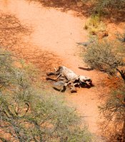 An aerial view of an elephant carcass that has been poached.