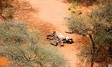 An aerial view of an elephant carcass that has ...