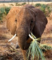 A young elephant snacks on a doum palm frond in Samburu National Reserve, Kenya.