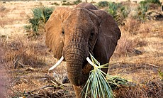 A young elephant snacks on a doum palm frond in...