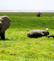 Elephants cool off in the swamp at Amboseli National Park, Kenya.
