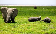 Elephants cool off in the swamp at Amboseli Nat...