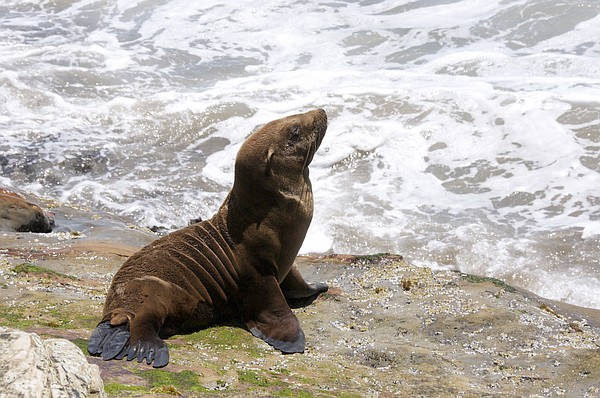 A sea lion pup lounges by the ocean.