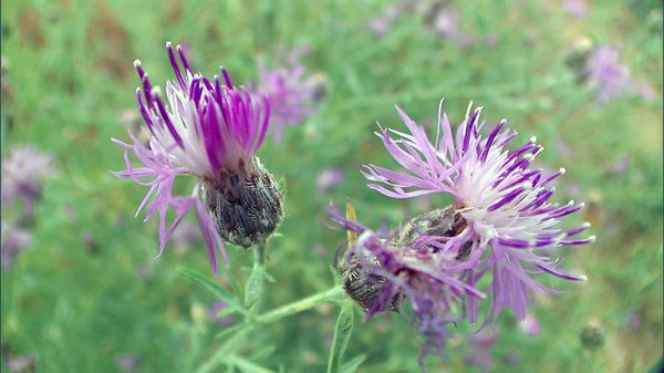 A beautiful, but deadly foreign invader, knapweed wreaks havoc with grazing l...