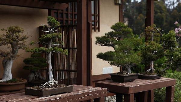 The Case Of The Stolen Bonsai Trees Kpbs