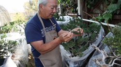 Fred Miyahara works on one of his many bonsai trees. Until recently, Miyahara...