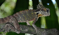 Boyds Forest Dragon in Daintree.
