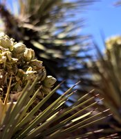 Joshua Tree flowers