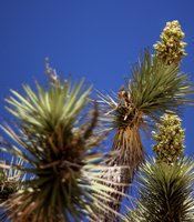 Joshua trees in bloom