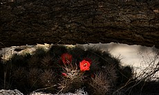 Red cactus flowers growing in the shade of a fallen tree